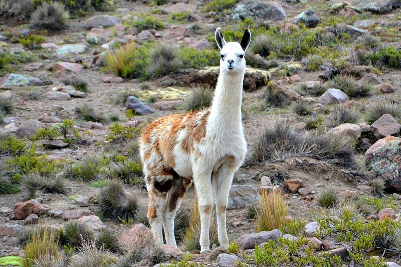 Opmærksom lama