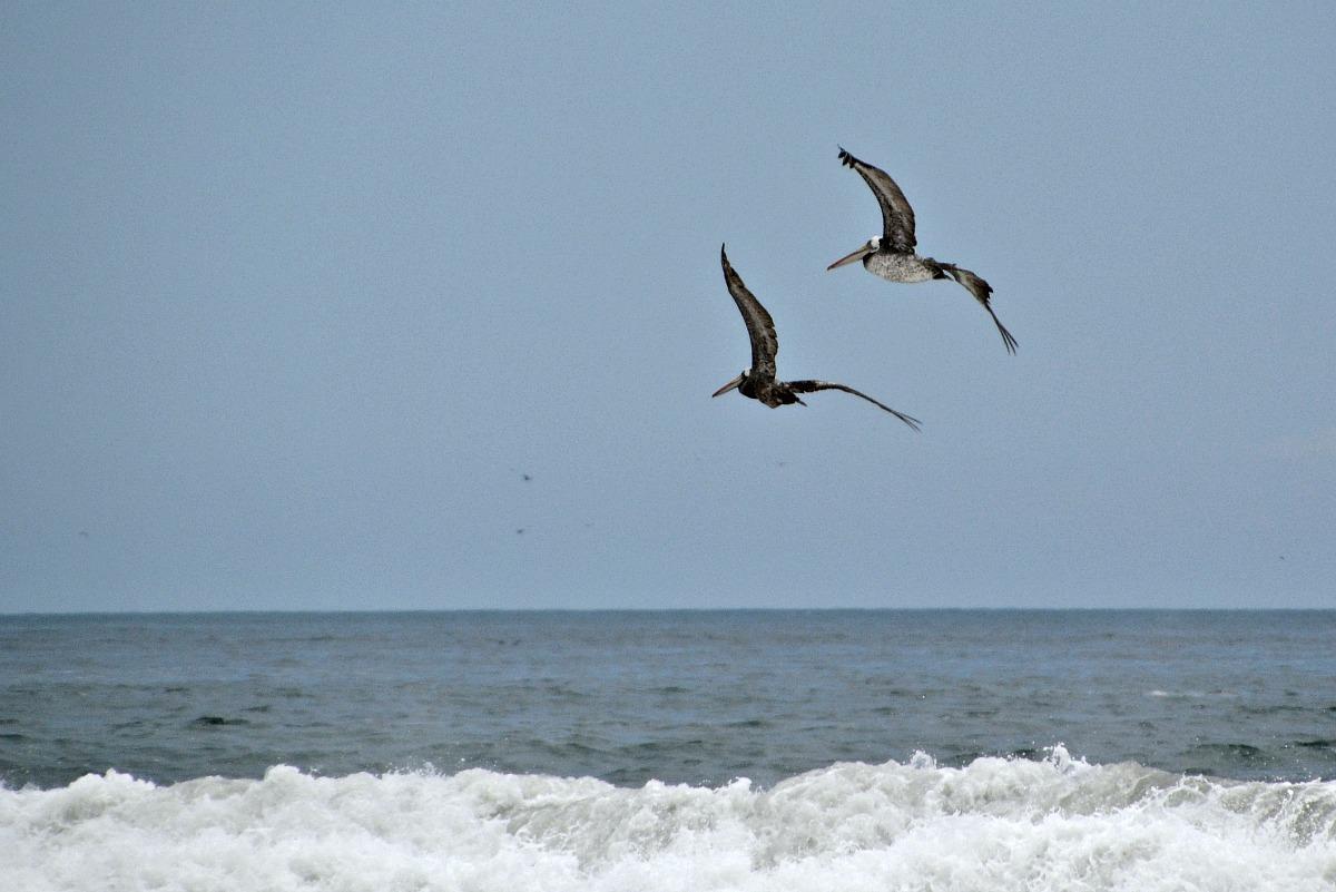 Pelikaner