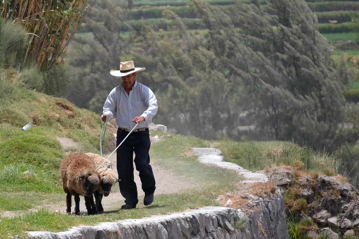Arequipeño med får