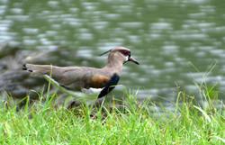 Fugl ved Gamboa