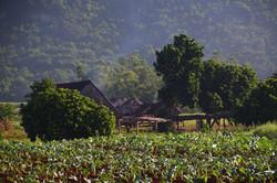 Familien Mirandas tobaksfarm