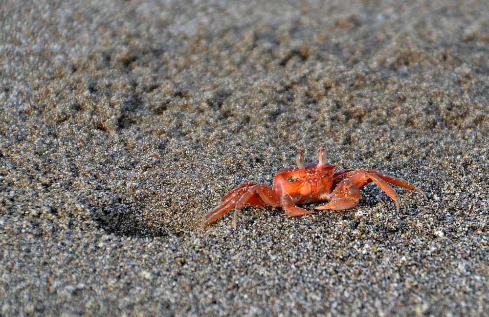 1 Krabbe