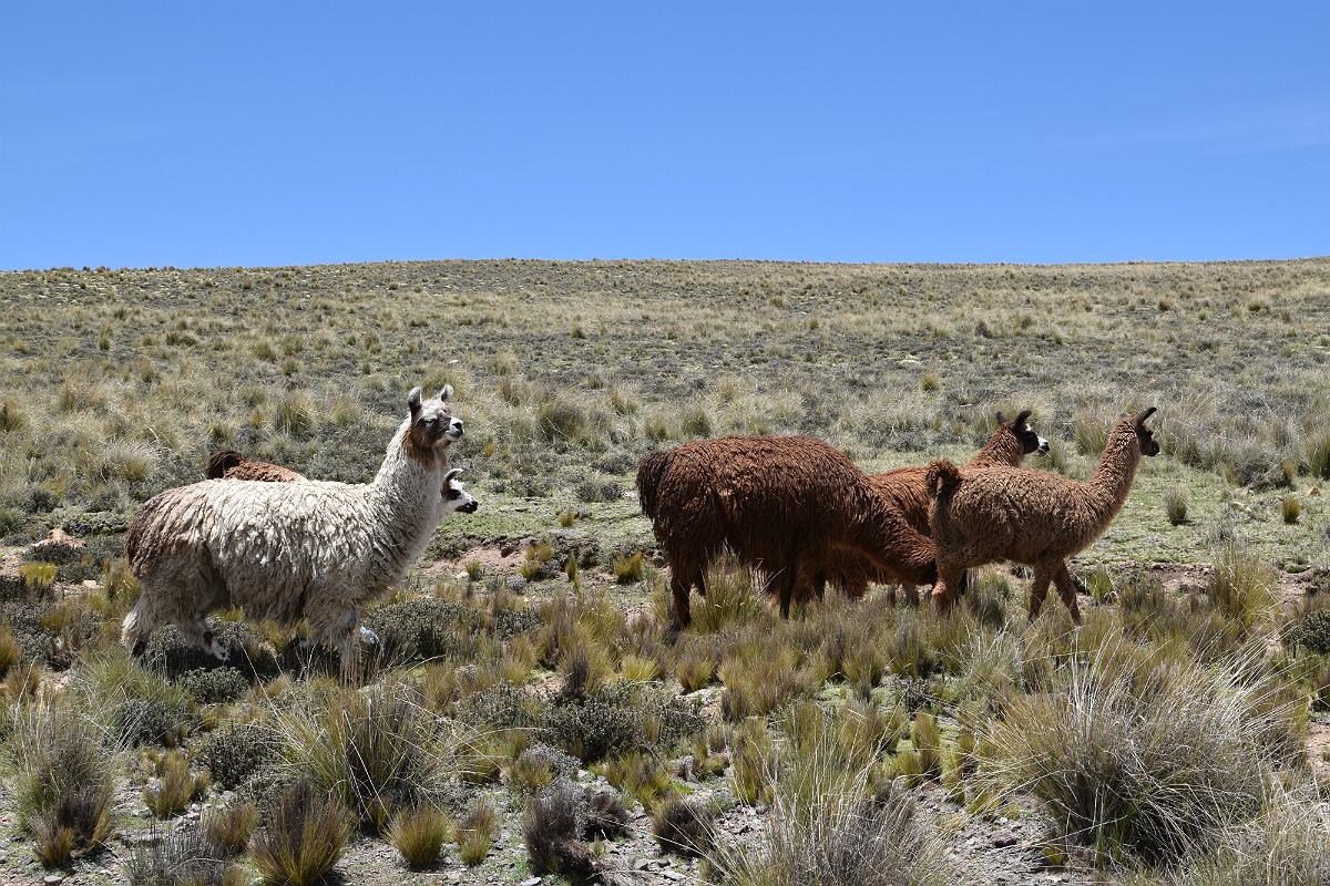 Lamaer i Andesbjergene
