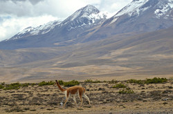 Vicuña ved Chachani