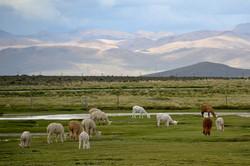 Lamas bjerge.jpg