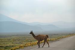Lama på vej