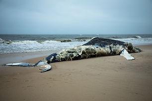 Dead Female Humpback Whale on Fire Islan