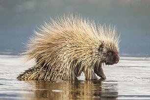 North American Porcupine Erethizon dorsa