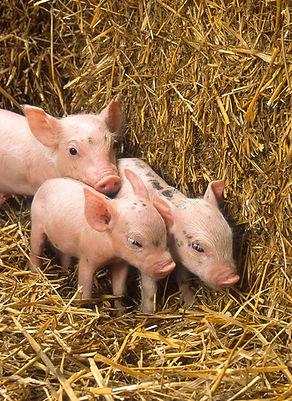 pigs-82055_1920.jpg