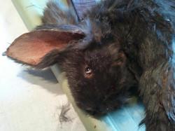 Dead Bunny creation.
