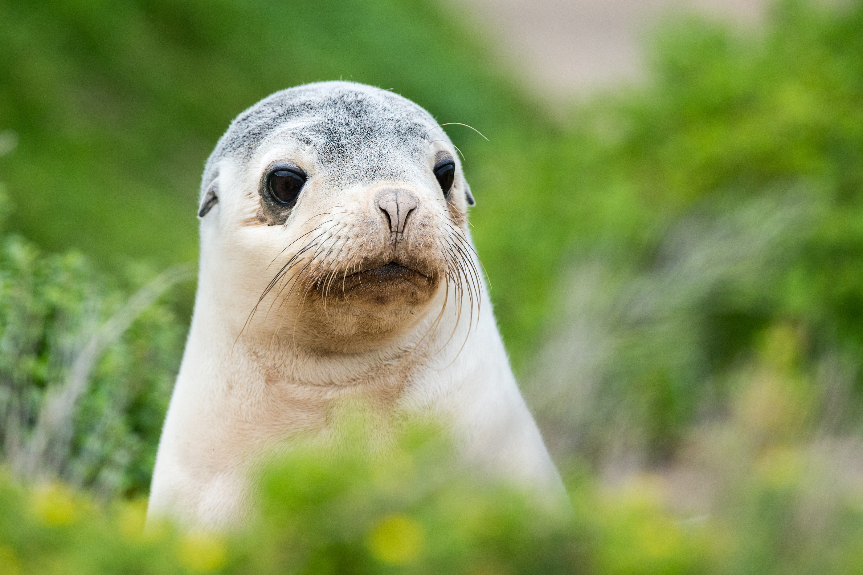 Newborn Australian Sea Lion On Bush Background