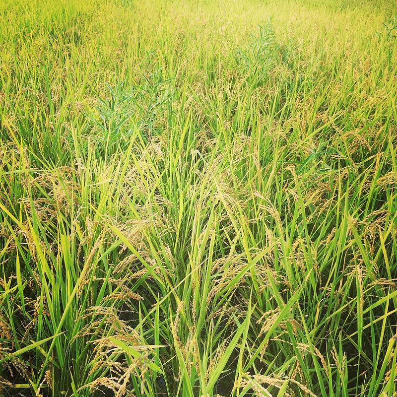 加計呂麻島稲作