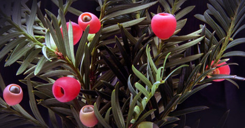Yew is poisonous to pets all year long.