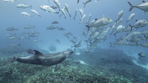 Dolphin Fan