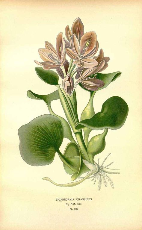 water hyacinth- Eichhornia crassipes