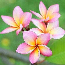 Pink-Plumeria-450w_large.jpg