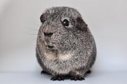 guinea-pig-640499