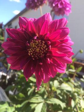 00_Mambo Fleur d'anemome.JPG