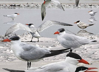 Creature Feature: Who is the largest tern flying over the San Francisco Bay? And where can you find