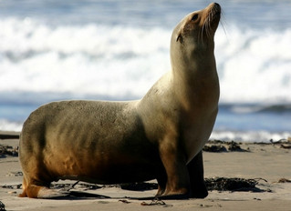 Marine Science in the News: Bacteria in California Sea Lions