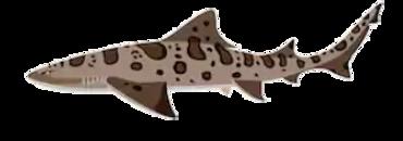 leopard shark - Copy.PNG