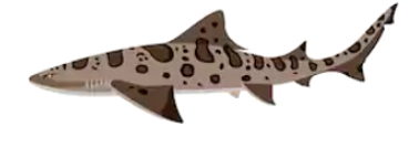 leopard shark - Copy.PNG