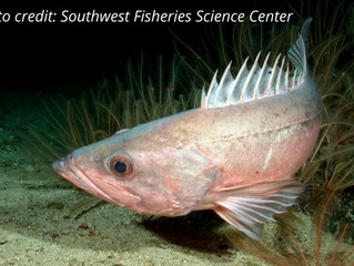Marine Science in the News: Success for West Coast rockfish