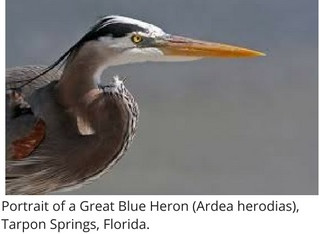Creature Feature: A Different Kind of Bird - The Great Blue Heron