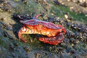 Red Rock Crab2.JPG