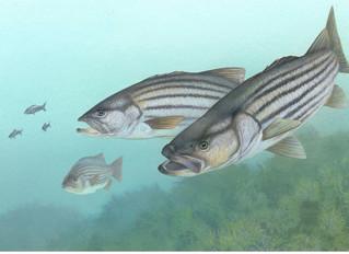 Creature Feature: East Coast Fish Calls California Home