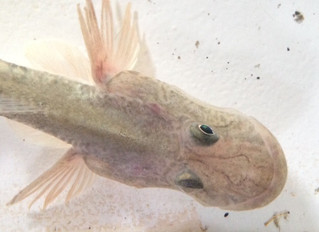 Creature Feature: A cute, quirky SF Bay fish resembles a baby dragon close-up