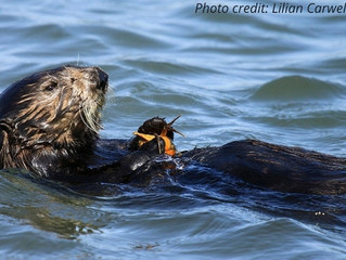 Marine Science in the News: Sea otters in Elkhorn Slough