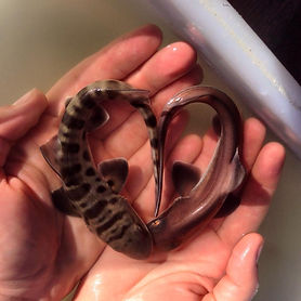 shark heart bigger.jpg