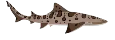 leopard shark.PNG