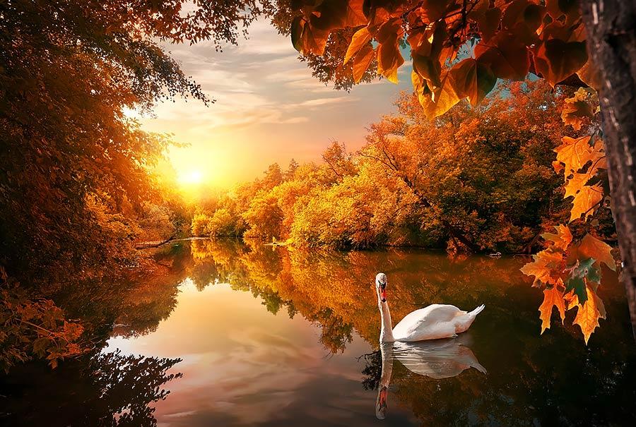 תמונת ברבור באגם