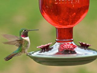 Bird Feeding - Where Are All My Hummingbirds?