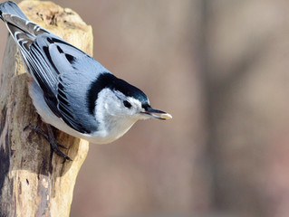Help Us With the New Bella Vista/Bentonville Christmas Bird Count