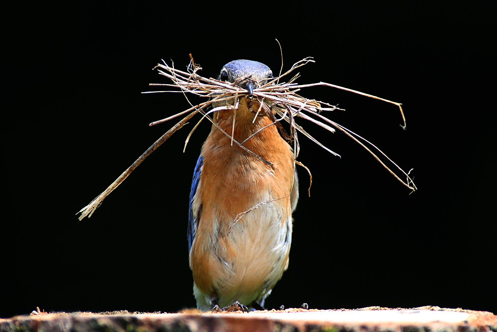 Male Eastern Bluebird with a mouthful of nesting material