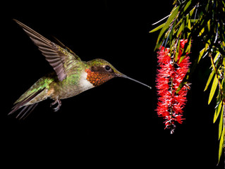 Bird Questions Answered - How Long Will Hummingbirds Be at My Feeders This Fall?