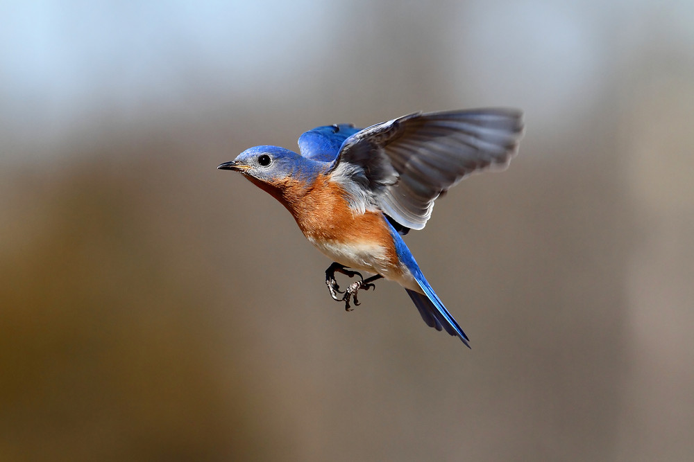 Eastern Bluebird comes in for a landing