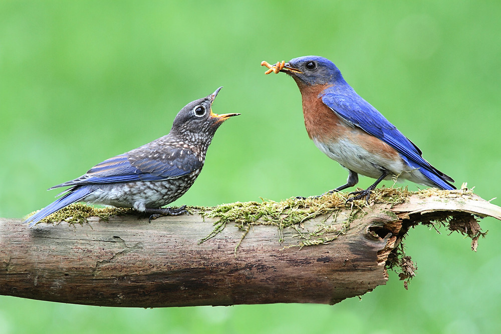 An adult Bluebird feeds a fledgling
