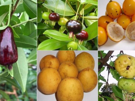 'Superfrutas' da Mata Atlântica