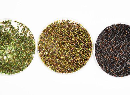 Seria a semente de canola a nova tendência em proteína alternativa?