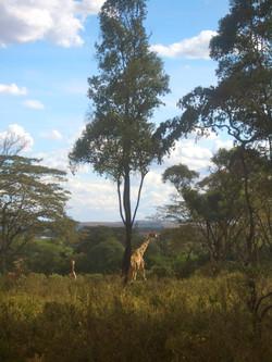 The Giraffe Preserve