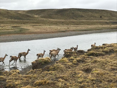 Guanacos on the river.jpeg