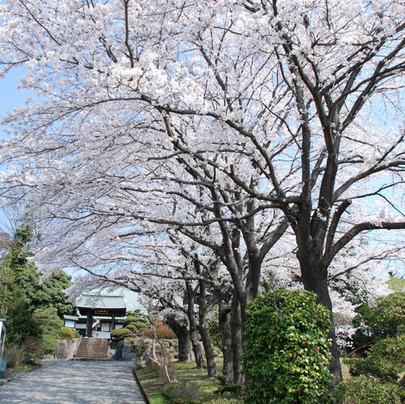 桜の参道 東京・八王子市 真言宗 玉泉寺