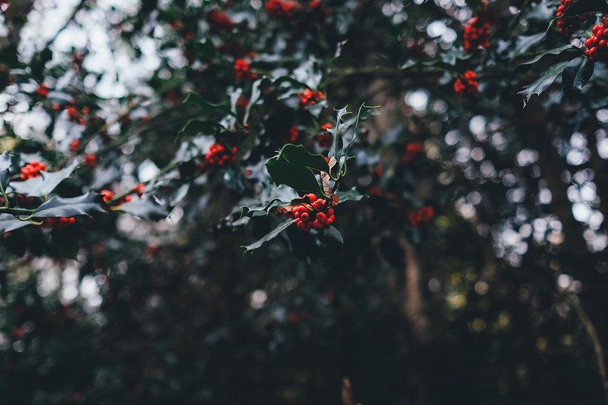 holly-berries-1082138_1920.jpg