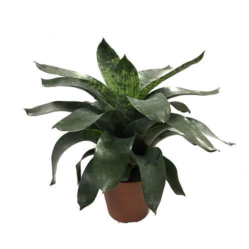 Vriesea Gigantea 'Nova'