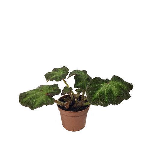 Begonia Solimutata