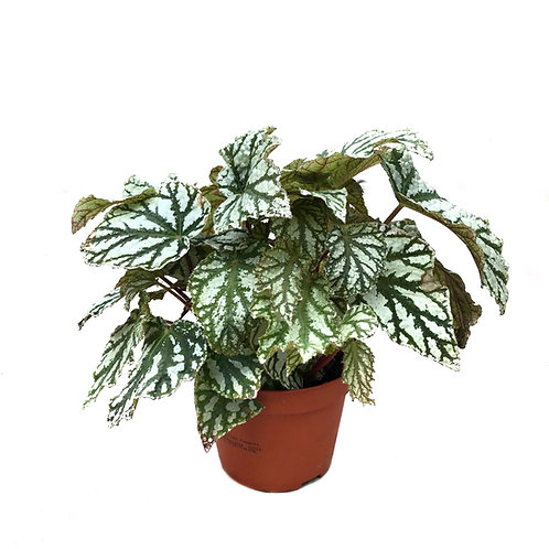 Begonia rex 'Silver Fairy'